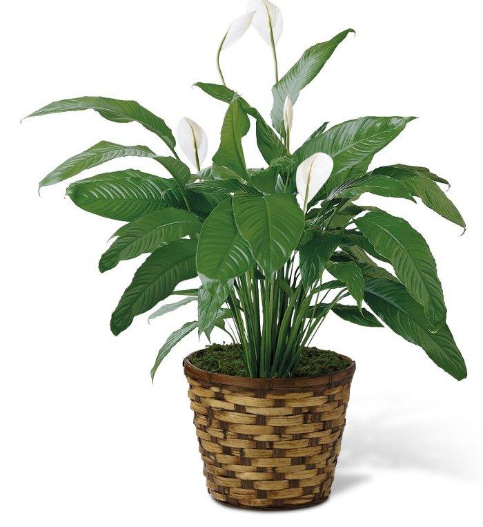 3572 Spathiphyllum product image