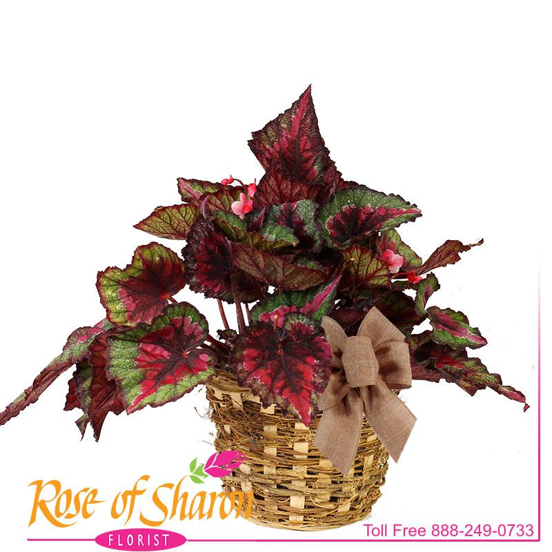 1977 Rex Begonia product image