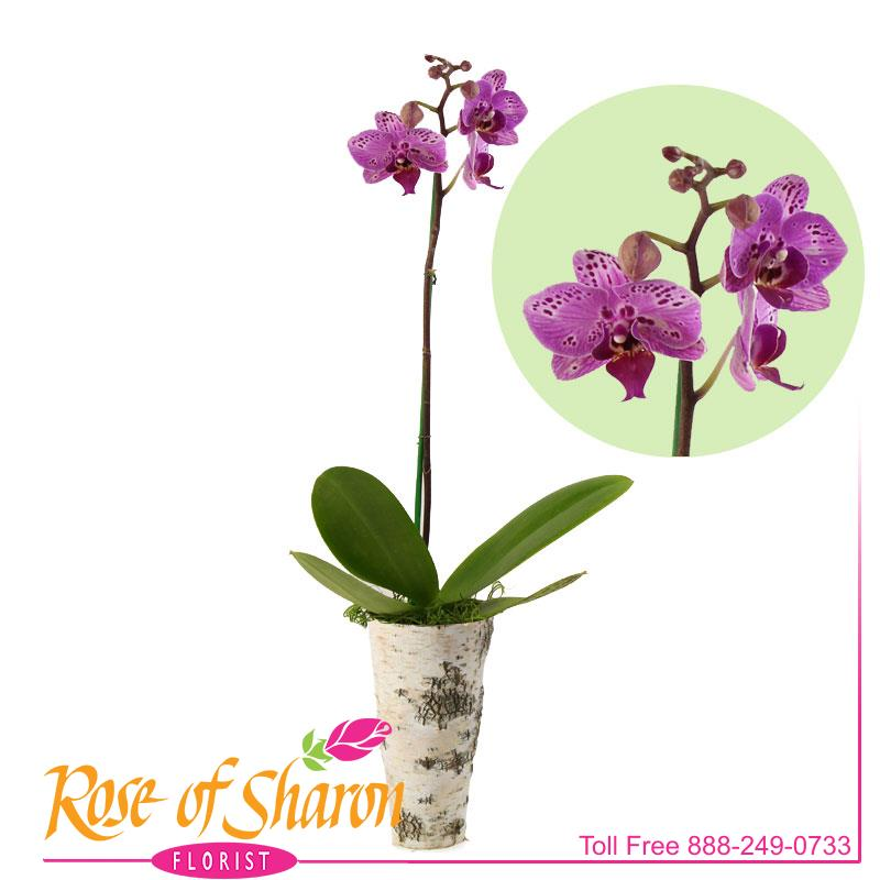 Phalaenopsis Orchid - Small main product image