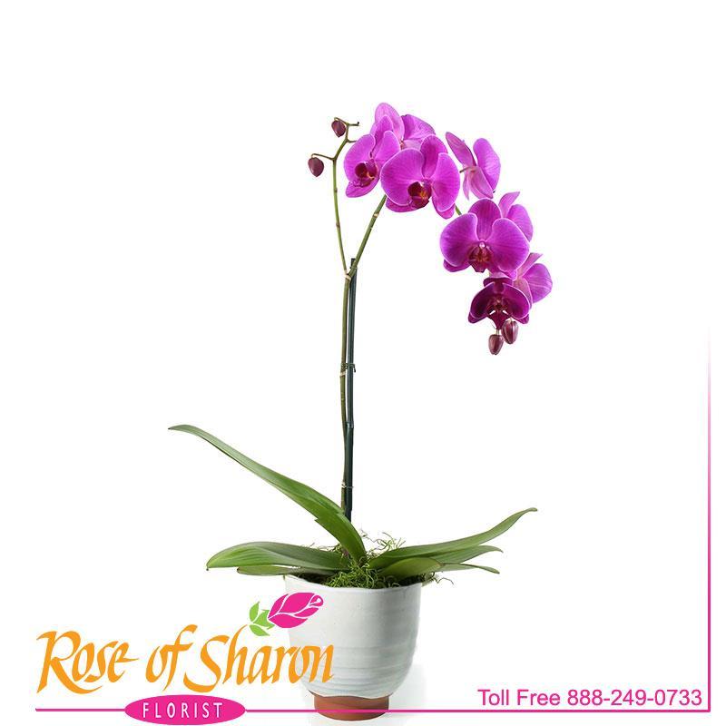 2392 Phalaenopsiss Orchid - Lg Spike product image