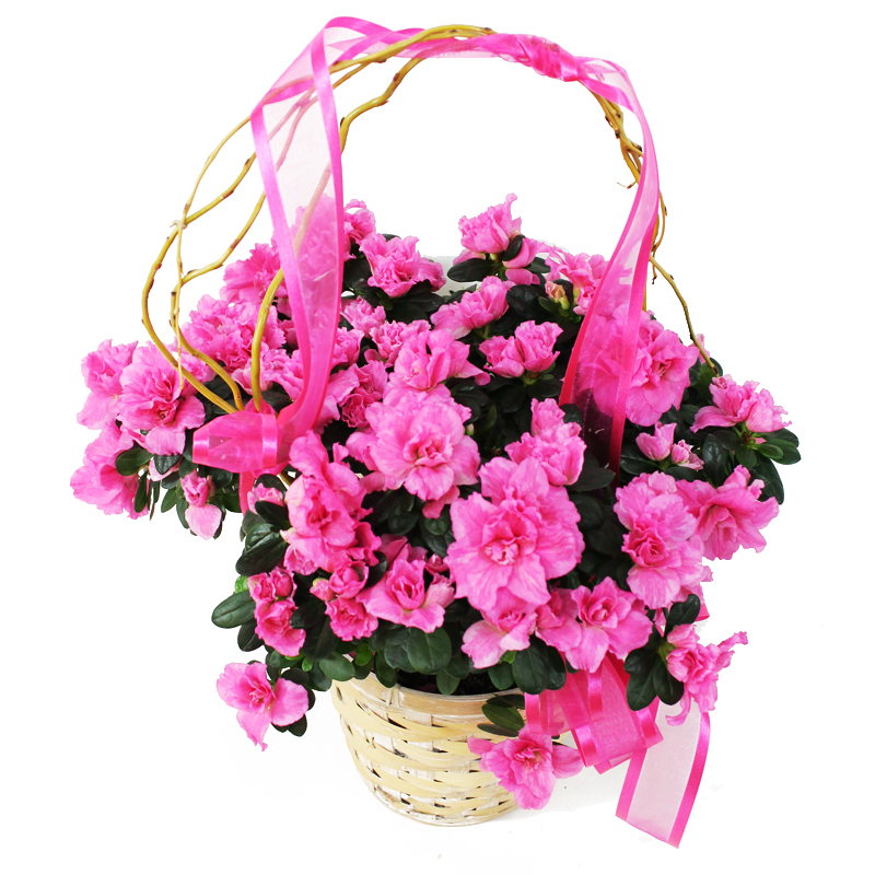 2507 Azalea in Light Basket Image One