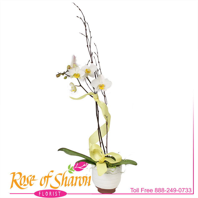 2587 Chessa Orchid Plant product image