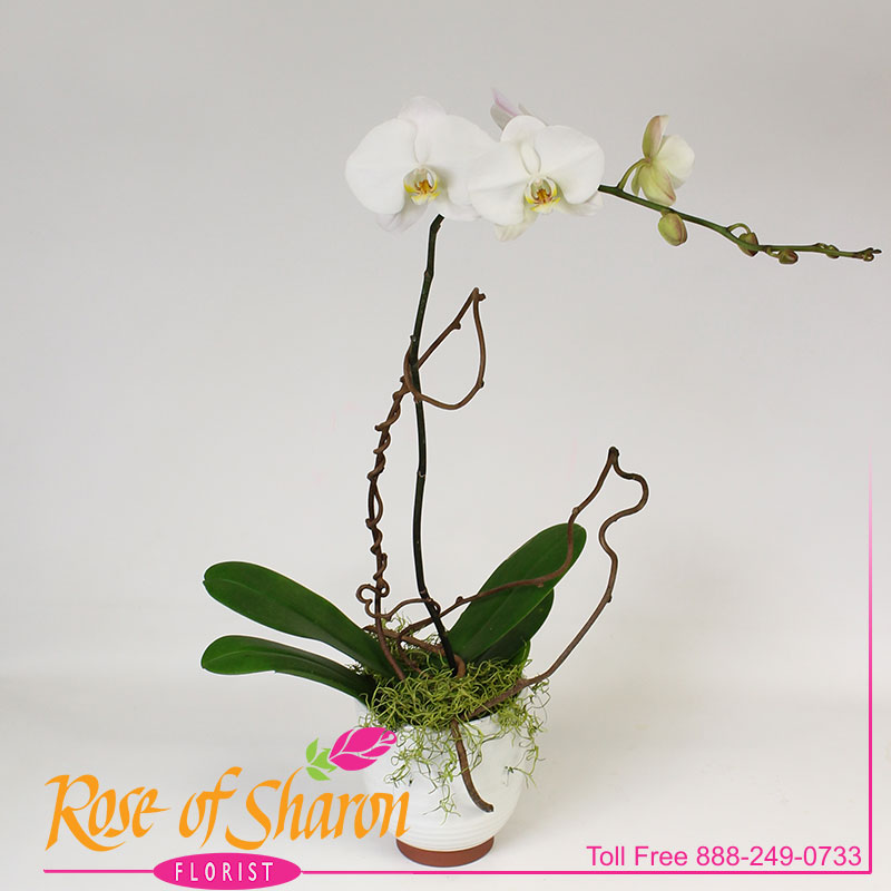 2588 Chessa Orchid Plant - Large product image