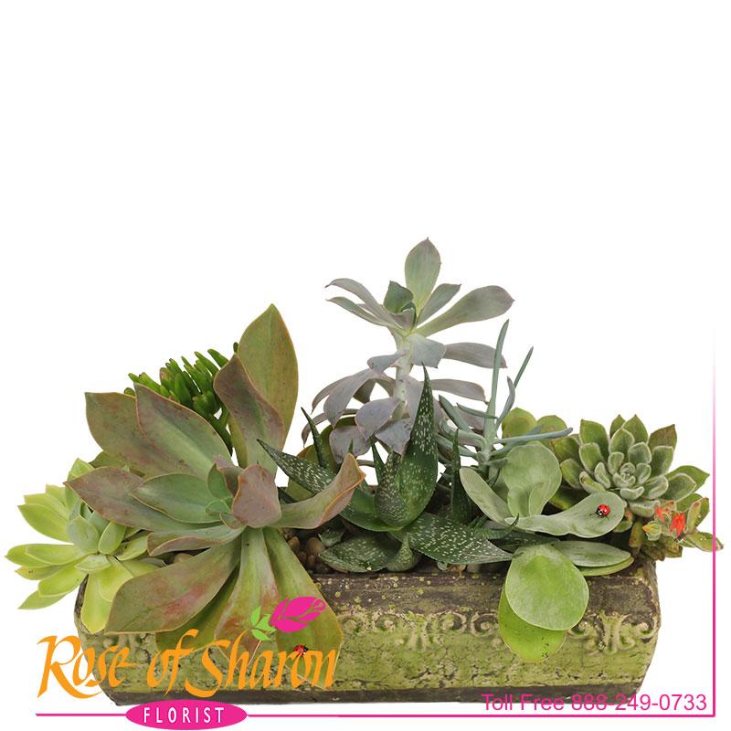 Kamali Succulent Garden main product image